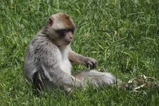 Barbary Macaque In The Grass Stock Photography