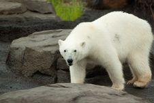 Free Polar Bear Walking On Rock Stock Images - 14593314
