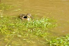 Free Duck Royalty Free Stock Photos - 14593438