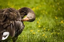 Free Duck In The Park Royalty Free Stock Images - 14593749