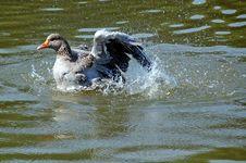 Free Goose Washing Royalty Free Stock Photo - 14593795