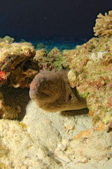 Free Yellow Margin Moray Eel Stock Photography - 14594382