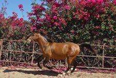 Galloping  Horse Royalty Free Stock Photos