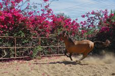 Free Galloping  Horse Royalty Free Stock Photography - 14595407