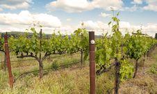 Free Vineyard Scene Stock Image - 14595511