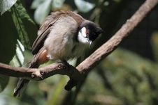 Red-whiskered Bulbul Royalty Free Stock Photos