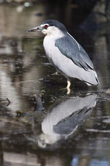 Free Black-crowned Night Heron Royalty Free Stock Image - 14595656