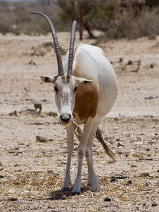 Sahara Oryx Royalty Free Stock Photography