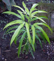 Free Zodia Evodiaa Suaveolens Mosquitos Repellent Plant Royalty Free Stock Image - 14596776