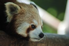 Free Red Panda Stock Photos - 14597433