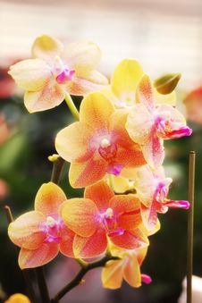 Free Yellow Orchid Royalty Free Stock Images - 14599019