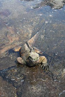 Free Iguana Swimming Royalty Free Stock Photography - 14599307