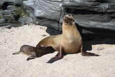 Free Baby Sea Lion With Its Mother Royalty Free Stock Image - 14599556