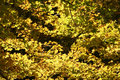 Free Yellow Forest Leaves Stock Images - 1469024