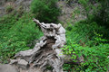 Free Gnarled Tree Root Stock Photography - 1469522