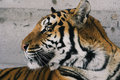Free Siberian Tiger Stock Photo - 1469700