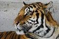 Free Siberian Tiger Stock Photos - 1469813