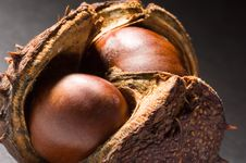 Free Conkers Royalty Free Stock Photos - 1460658