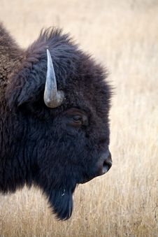 Free Bison Portrait Royalty Free Stock Images - 1461219