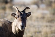 Free Bighorn Sheep Stock Photography - 1461232