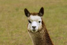 Free Lovely Alpaca Stock Images - 1461404