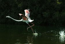 Free Flamingo Stock Photo - 1462060