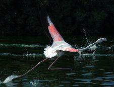 Free Flamingo Royalty Free Stock Photography - 1462487