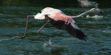 Free Flamingo Royalty Free Stock Images - 1462489