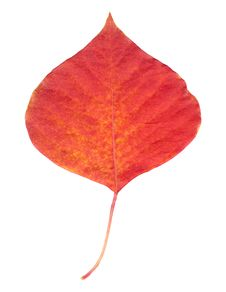 Free Red Leaf Royalty Free Stock Images - 1464259