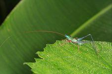 Free Grasshopper Royalty Free Stock Photo - 1464515