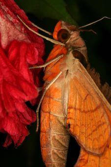 Free Hawk Moth Closup Royalty Free Stock Photos - 1464598