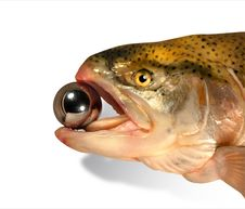 Free Trout Royalty Free Stock Images - 1464629