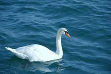 Swan Alone Royalty Free Stock Photos