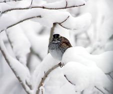Free Sparrow In Heavy Snow Royalty Free Stock Photography - 1466837