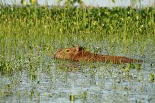 Free Capybara Stock Photos - 1467843