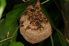 Free Wasps Nest 2 Royalty Free Stock Image - 1467936