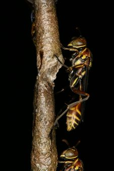 Wasps On A Nest Stock Image