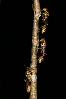 Free Wasps On A Nest 3 Royalty Free Stock Photo - 1468045