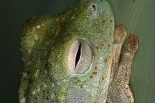 Free Eye Of A Tree Frog Stock Images - 1468094
