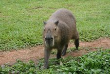 Free Capybara On A Path 2 Stock Photography - 1468102