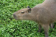 Free Capybara Sniffing Stock Images - 1468134