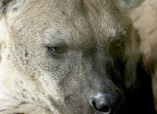 Eyes And Nose Of Spotted Hyena Stock Photography