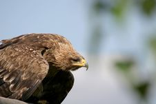 Close-up Of Spying Eagle Royalty Free Stock Images