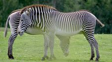 Free A Couple Of Zebras Royalty Free Stock Photography - 1468587