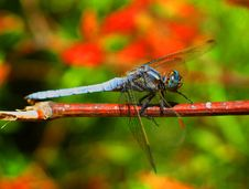 Free Blue Dragonfly Royalty Free Stock Photo - 1468965