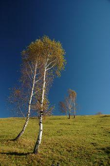 Free Birch Trees Stock Image - 1468971