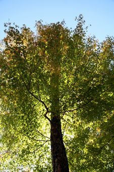 Free Green Forest Tree Royalty Free Stock Photos - 1469038