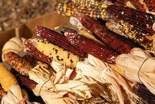 Free Holiday Corn Crop Royalty Free Stock Photos - 1469048