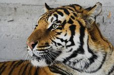 Free Siberian Tiger Stock Photos - 1469813