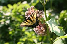 Free Swallowtail 1 Stock Images - 1469914
